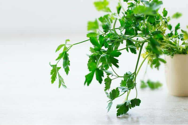 parsley in small white pot
